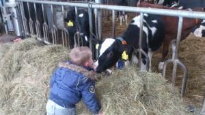 thom en koe